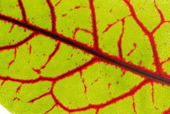 Leaf pattern. A closeup of a sorrel leaf shows the red veins and the lime green background stock photo