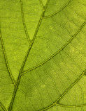 Leaf Pattern. Macro photo of a green leaf with sunlight from behind Royalty Free Stock Photos