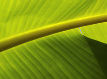 Leaf Pattern. Closeup photo of a banana-tree leaf with sunlight from behind Royalty Free Stock Photos