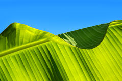 Leaf Pattern. Closeup photo of a banana-tree leaf with sunlight from behind Stock Photography