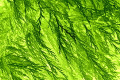 Conifer leaf pattern  Stock Photography