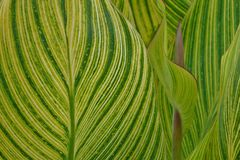 Leaf patterns of calla lilies Jean Augustine Park Stock Photography