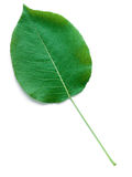 A Leaf of a Pear Tree Royalty Free Stock Images