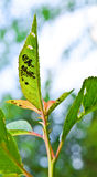 Leaf pests (Aphidina) Royalty Free Stock Photos
