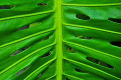 Leaf of Philodendron Royalty Free Stock Photos