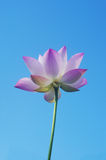 Pink lotus flower. A pink lotus flower in blue sky Royalty Free Stock Photo