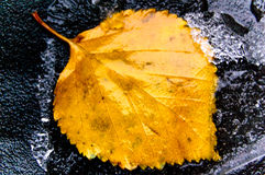 Leaf and the piece of  ice. Leaf and the piece of  ice on black  background Royalty Free Stock Photos