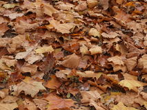Leaf Pile of Brown Leaves Royalty Free Stock Image
