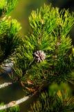 Leaf Pine Stock Photo