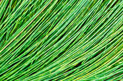 Leaf pine for background Stock Photo