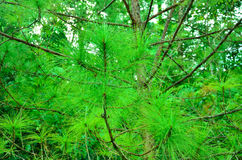Leaf pine Royalty Free Stock Image
