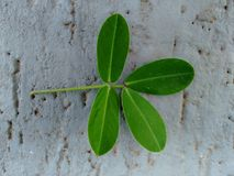 Leaf pinnately-compound with small oval leaflets - Tetrafoliolate - Face adaxial. The creeping peanut is a genus of flowering plants in the family Fabaceae, with Stock Photo