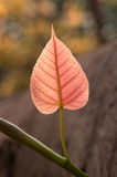 A leaf of the pipal tree . Royalty Free Stock Photography