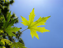 Leaf of plane tree Stock Images