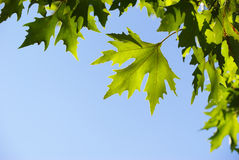Leaf of plane tree Royalty Free Stock Images