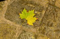 Leaf of plane tree Royalty Free Stock Image