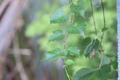 Leaf, Plant, Branch, Tree royalty free stock image