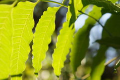 Leaf of plant in Chiangmai Stock Photo