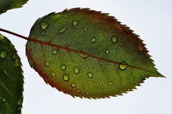 Leaf, Plant, Close Up, Macro Photography Stock Photography