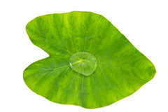 Leaf Plant Royalty Free Stock Image