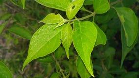 Leaf, Plant, Flora, Plant Stem royalty free stock photography
