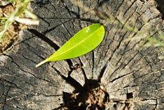 Leaf Plant growing on tree stump.  stock photos