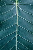 The leaf of a plant macro shot. beautiful texture of the plant with veins and cells.  royalty free stock photography