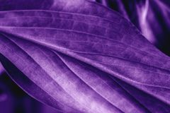 Leaf plant texture, macro shot. Ultra violet or purple color toned as abstract backdrop for design. Nature background stock photos