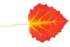 Leaf poplar stock image