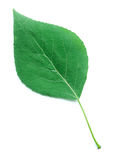 A Leaf of a Poplar Tree Royalty Free Stock Images