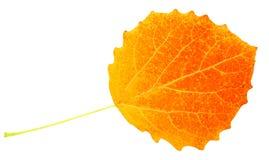 Leaf poplar stock photo