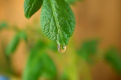 A leaf of potato top. With a water drop on it royalty free stock images