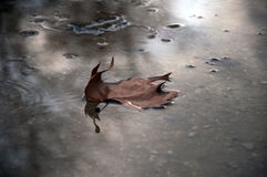 A leaf in a puddle of water. A single fallen leaf in a puddle during autumn Royalty Free Stock Image