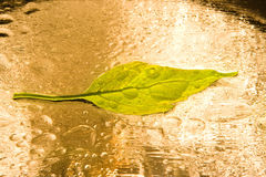 Leaf in rain Royalty Free Stock Photo