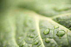 Leaf after the rain. Water droplets attached to the leaves after the rain was shining Royalty Free Stock Photography