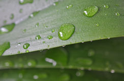 Leaf with rain droplets. Green leaf texture with rain droplets Stock Images