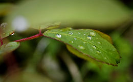 Leaf with rain droplets Royalty Free Stock Photography