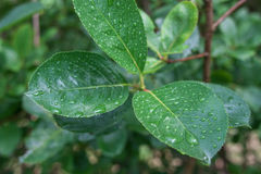 Leaf with rain droplets Royalty Free Stock Images