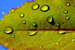 Leaf with rain droplets Royalty Free Stock Image