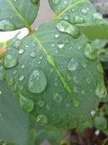 Leaf with rain drops Royalty Free Stock Image