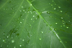Leaf with rain drops. Green leaf with water/rain drops on it - fresh rain on leaf Stock Photos