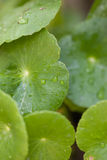Leaf with rain drops. Green leaf with water/rain drops on it - fresh rain on leaf Royalty Free Stock Photography