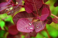 Leaf with rain drops. Red leaf with water/rain drops on it - fresh rain on leaf Royalty Free Stock Photos