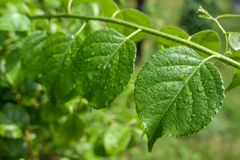 Leaf with rain drops of water. Green leaf with rain droplets Stock Photo