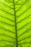 Leaf from the rain forest Royalty Free Stock Images