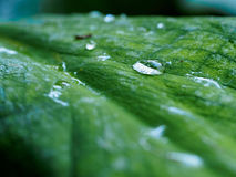 Leaf with raindrop. A raindrop on a green leaf royalty free stock images