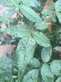 Raindrops on leaf. Leaf with a raindrop after a storm Royalty Free Stock Photo