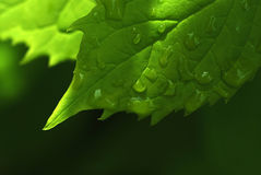 Leaf raindrops royalty free stock photos