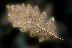 Leaf and raindrops Royalty Free Stock Photography