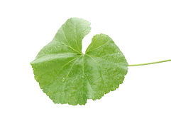 Leaf with raindrops Royalty Free Stock Photo